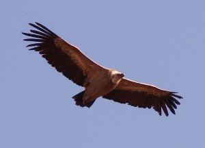фото орла парящего